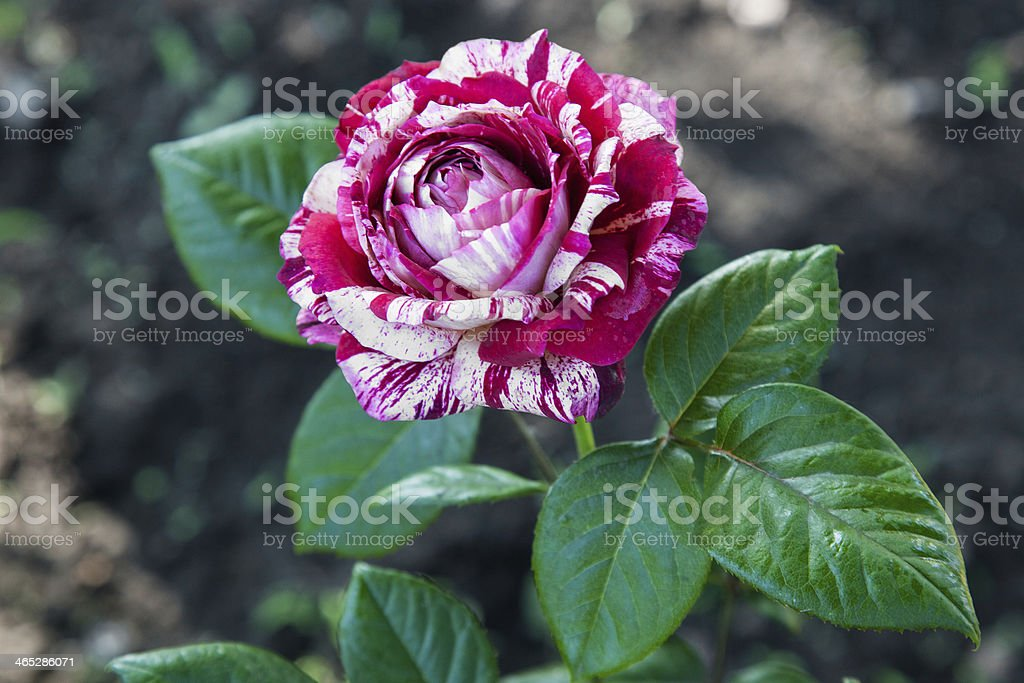 Striped rose royalty-free stock photo