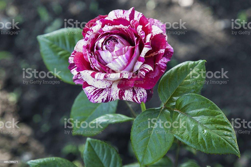 Striped rose stock photo