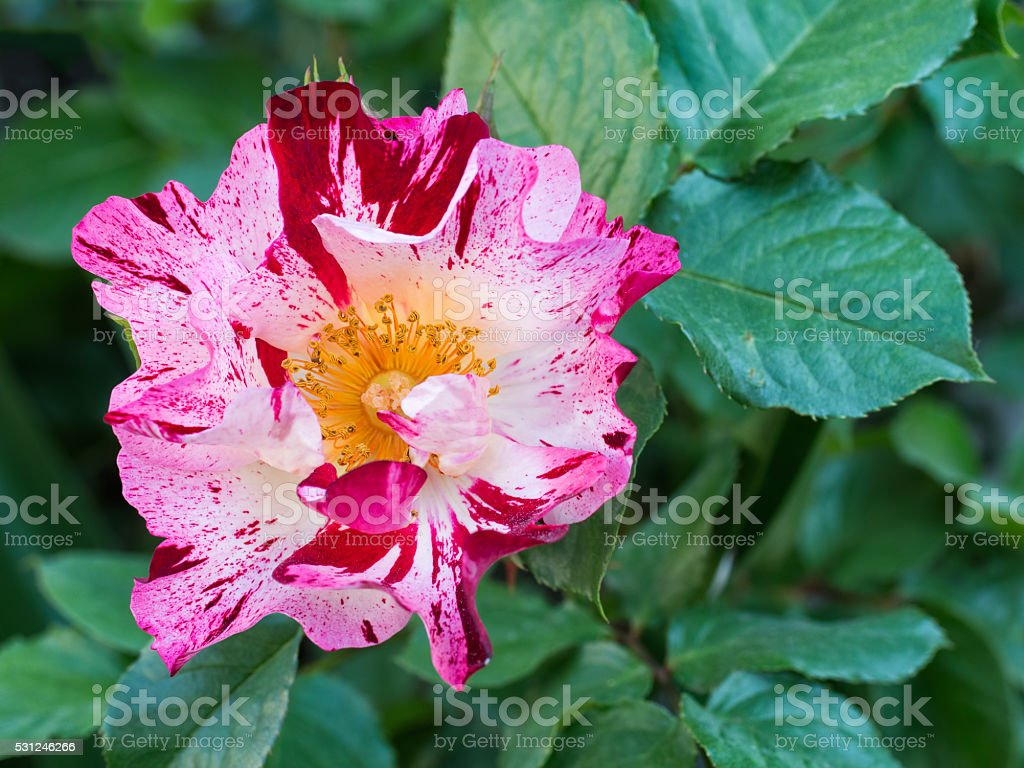 Striped Rose Red White And Pink Flower In Garden Stock Photo More