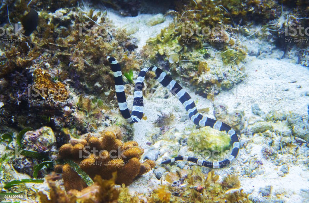Que suis -je  N° 2 - ajonc - 5 juin   bravo Martin Striped-sea-snake-underwater-photo-dangerous-marine-animal-picture-id913109936
