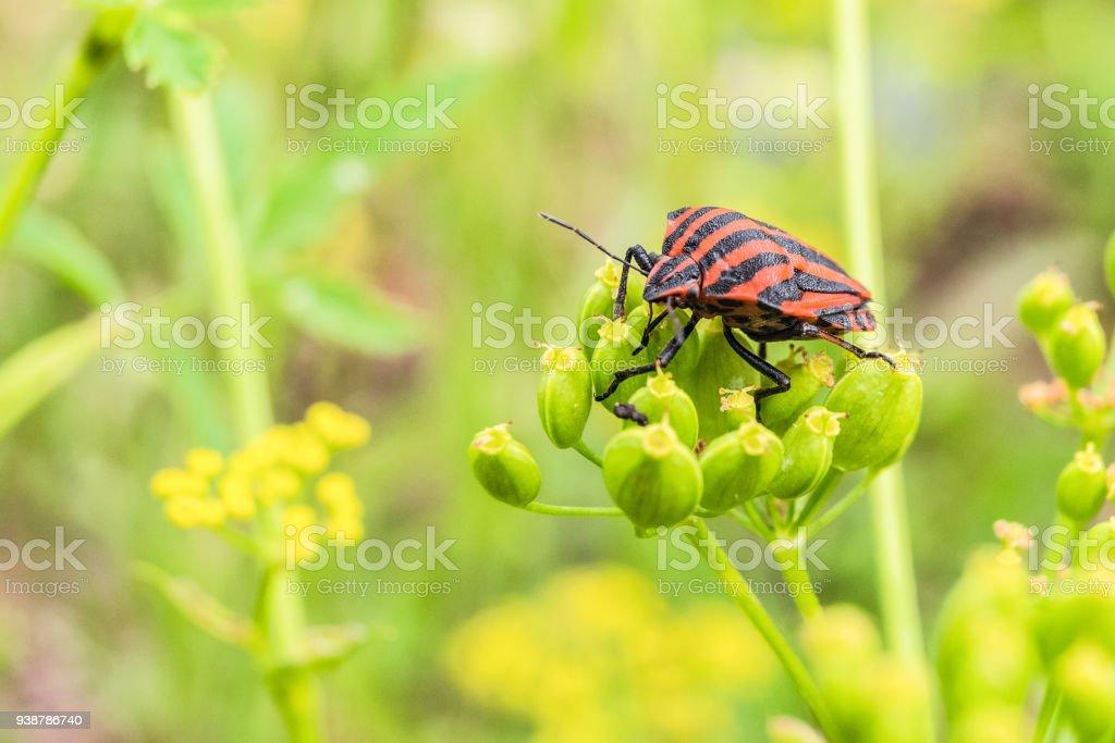 Striped shield bug (Graphosoma lineatum) eating umbelliferous plants stock photo