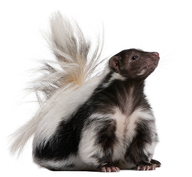 striped skunk, 5 years old, sitting and looking up. - skunk stock photos and pictures