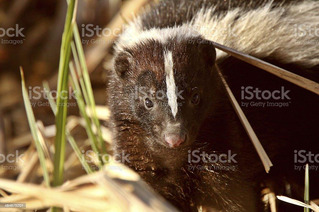 Striped Skunk in marsh stock photo