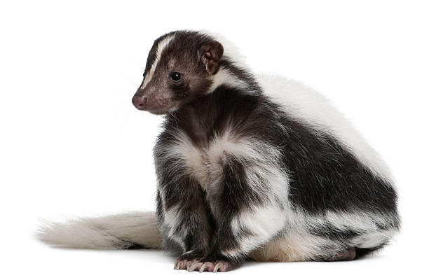 striped skunk, mephitis, 5 years old - skunk stock photos and pictures