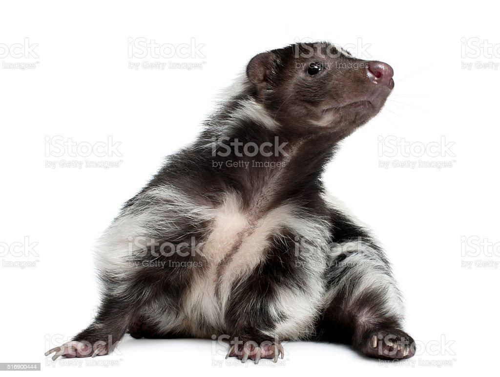 Striped Skunk, Mephitis Mephitis, 5 years old, lying stock photo