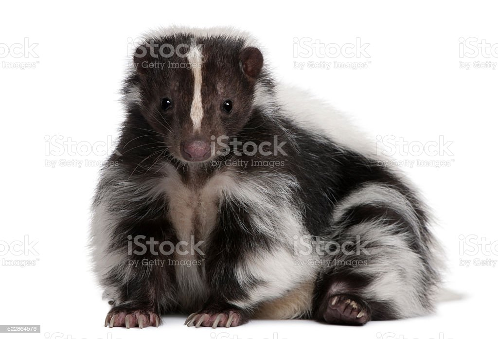 Striped Skunk, Mephitis Mephitis, 5 years old, lying stock photo