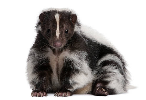 striped skunk, mephitis mephitis, 5 years old, lying - skunk stock photos and pictures