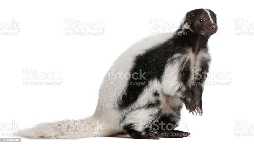 Striped Skunk, Mephitis Mephitis, 5 years old, sitting stock photo