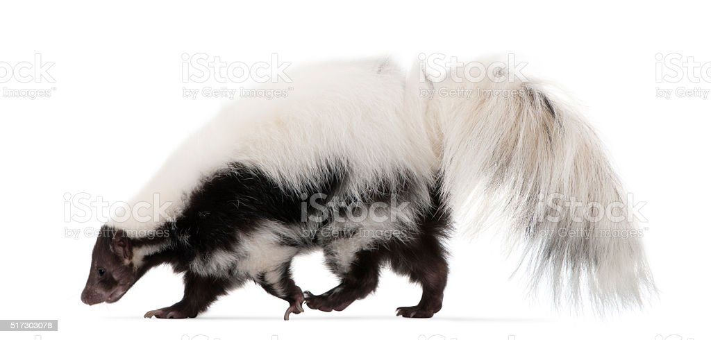 Striped Skunk, Mephitis Mephitis, 5 years old, standing stock photo