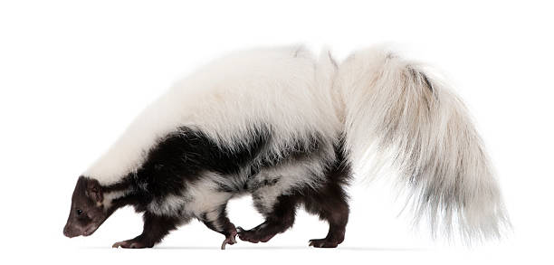striped skunk, mephitis mephitis, 5 years old, standing - skunk stock photos and pictures