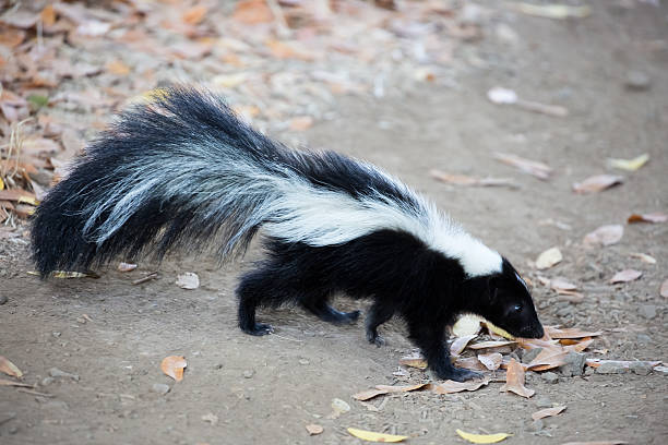 striped skunk, mephitis mephitis. rancho san antonio county park, california - skunk stock photos and pictures