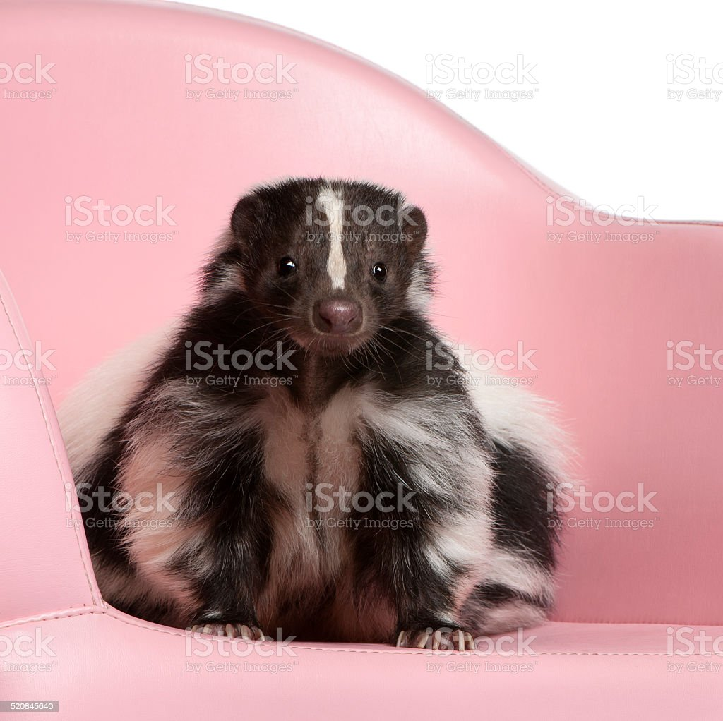 Striped Skunk, Mephitis Mephitis sitting on pink armchair stock photo