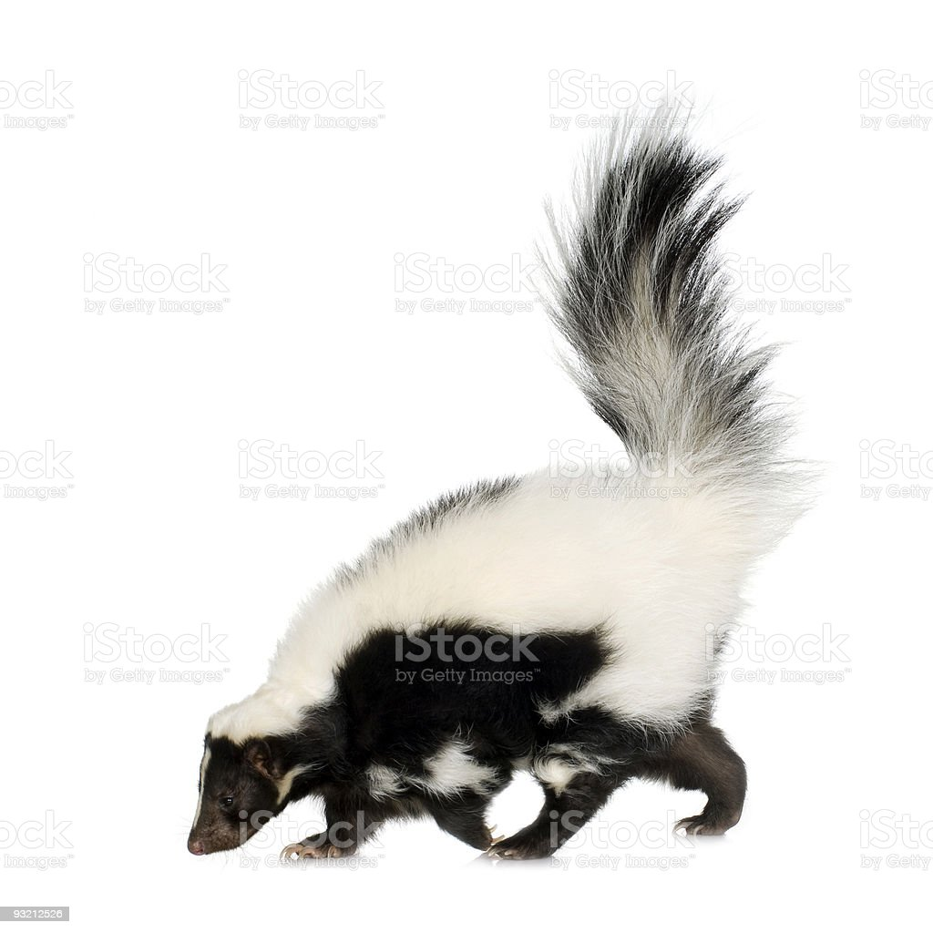 A striped skunk on a white background stock photo
