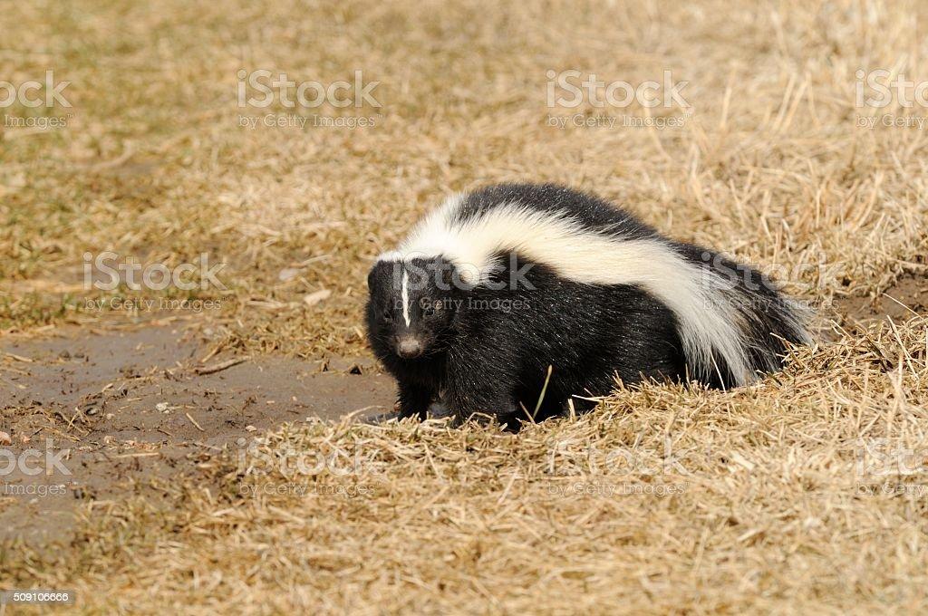 Striped Skunk stock photo