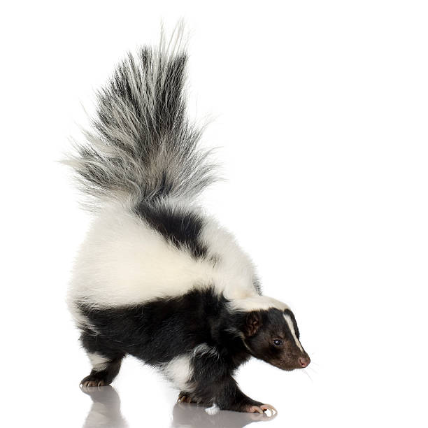striped skunk - skunk stock photos and pictures