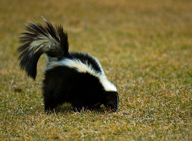 striped skunk sniffs in the grass - skunk stock photos and pictures
