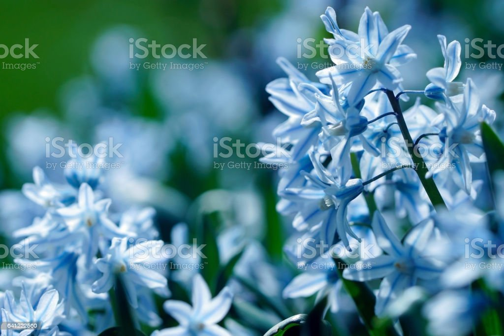 Striped squill and anemones stock photo