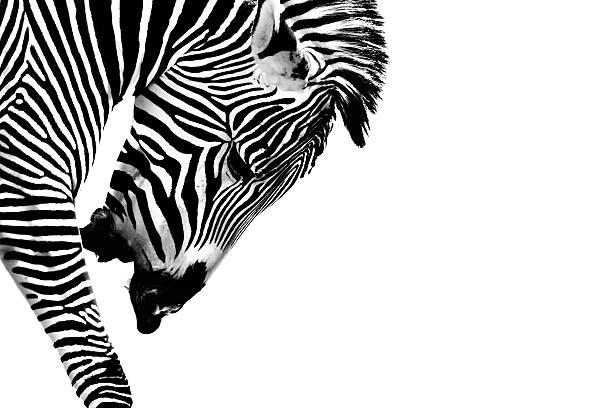 Striped Stallion stock photo