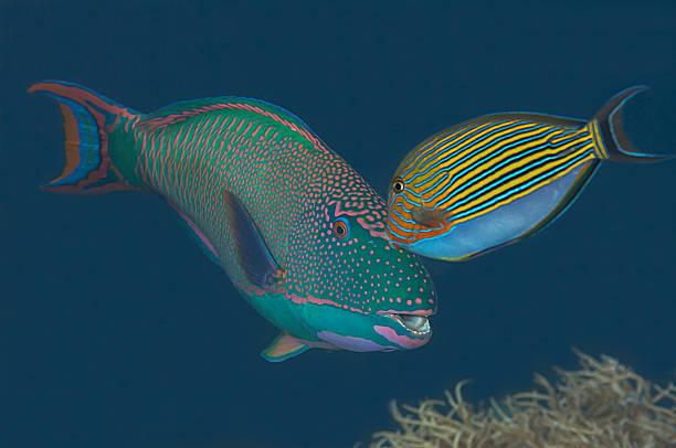 Blaustreifen-Doktorfisch, Acanthurus lineatus, zweifarbiger Papageifisch, Cetoscarus Zweifarbiger, – Foto