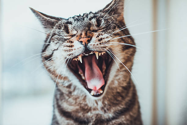 Striped tabby cat giving a big yawn Striped tabby cat giving a big yawn sitting facing the camera with its mouth wide open showing the tongue and teeth animal mouth stock pictures, royalty-free photos & images