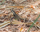 Isolated water dragon on dry leafy ground in Darwin, Australia