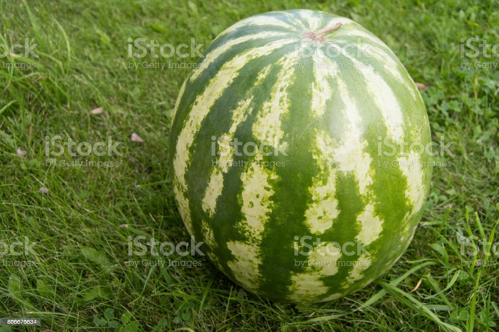Striped watermelon lying on the grass, closeup stock photo