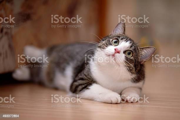 Striped with white a cat picture id493372854?b=1&k=6&m=493372854&s=612x612&h=fnawsuayx1kmuw4d0urktmwortm5xxy3dwv8guixgho=
