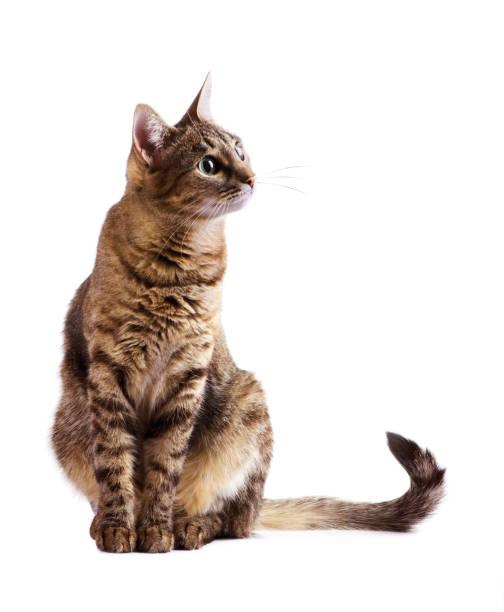 Stripy curious cat picture id1132338933?b=1&k=6&m=1132338933&s=612x612&w=0&h=b7m86ytnzx zijsh smt7bejjjudwbkxbw4ryqzo2lu=