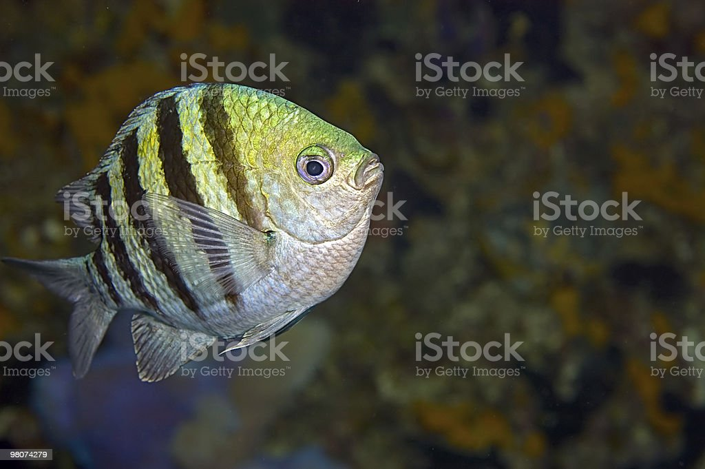 Stripy fish with copy space royalty-free stock photo