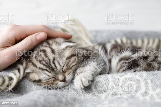Stroking sleeping scottish fold kitten picture id677741042?b=1&k=6&m=677741042&s=612x612&h=dgucazhy5nynn nuajtrlezb05xiwgsqi2k3a4lkv o=