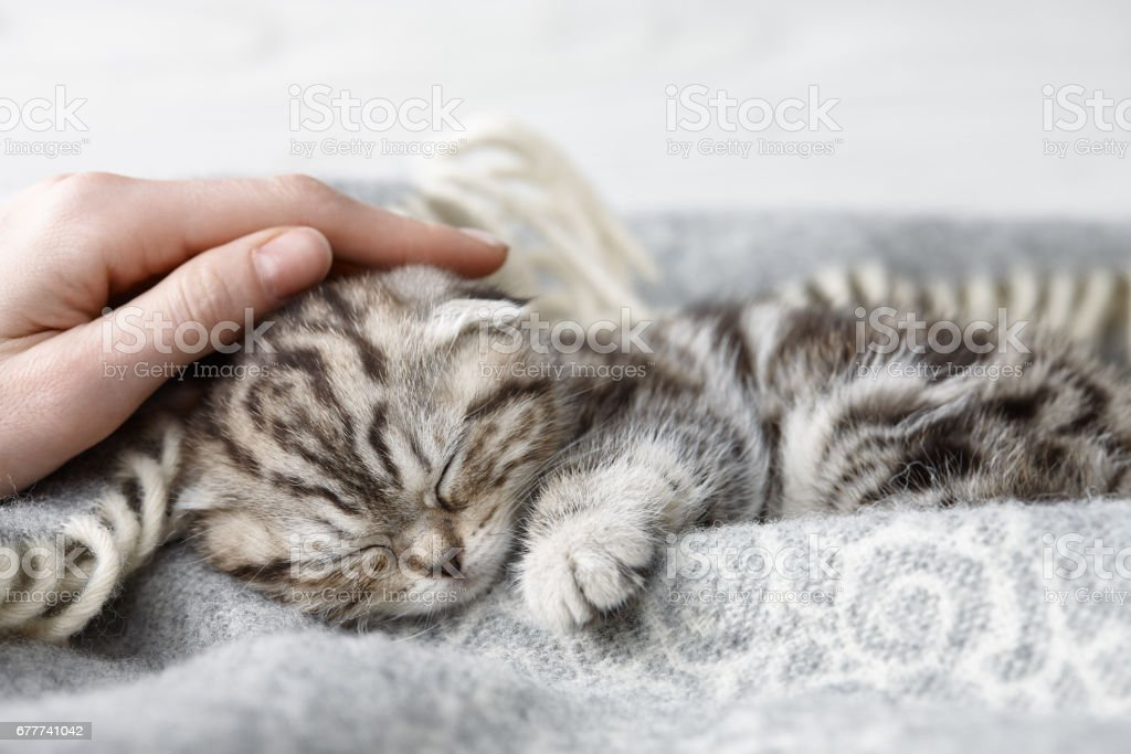 Caressant dormir chaton scottish fold - Photo