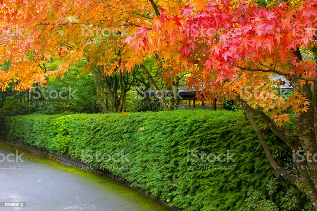 Schlendernde Pfad im japanischen Garten gesäumt Ahornbäume Saison Farben des Herbstes – Foto