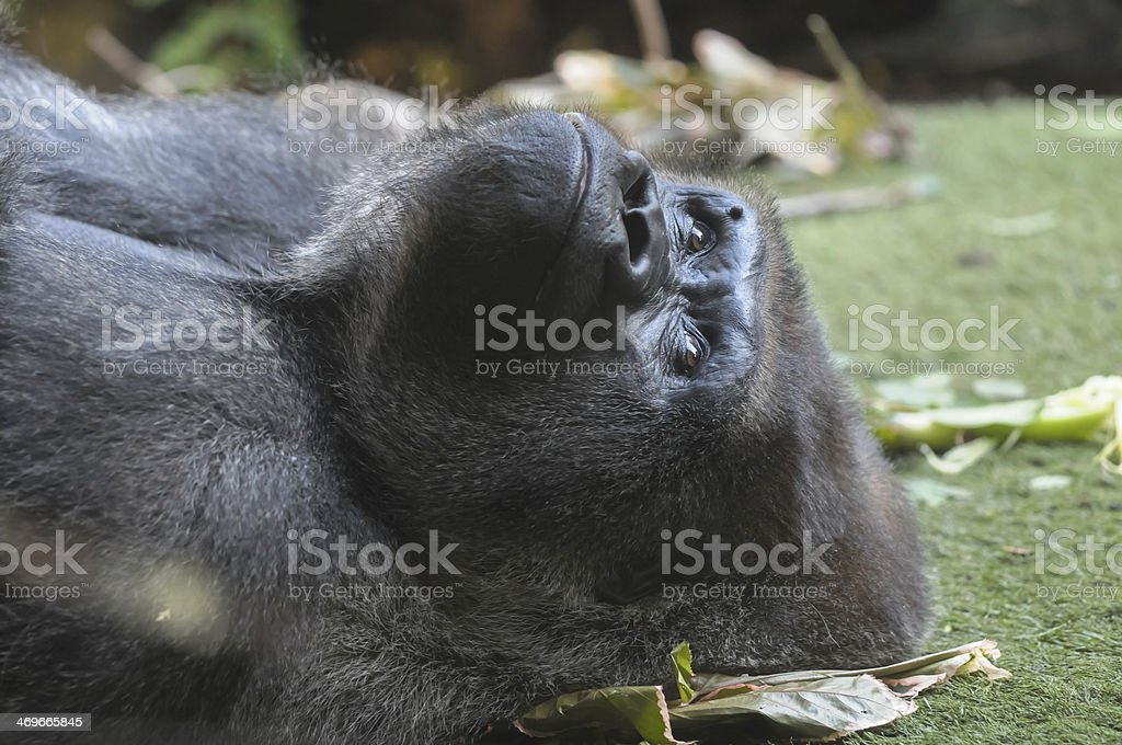 Strong Adult Black Gorilla royalty-free stock photo