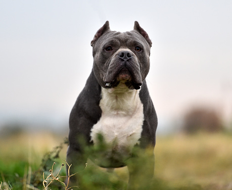 istock Strong american bully dog 1219025160