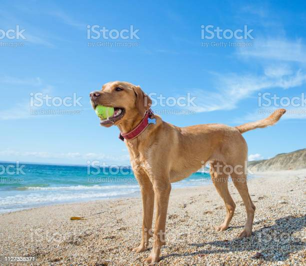 Strong and healthy labrador retriever dog in pet vitality concept picture id1127338371?b=1&k=6&m=1127338371&s=612x612&h=ec1gydsb qhmvnvwkqpcw4kfnqvnmd3ja sv9cahzz0=
