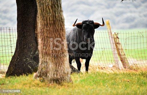 Strong black bull