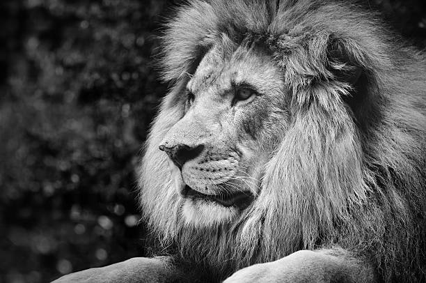 Strong contrast black and white of a male lion stock photo