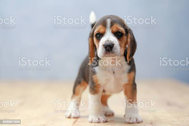 Strong female beagle puppy in action picture id638967658?b=1&k=6&m=638967658&s=612x612&h=c d flmhhu r20a8kwzkxm5dzq2fctaronq8i5t pms=
