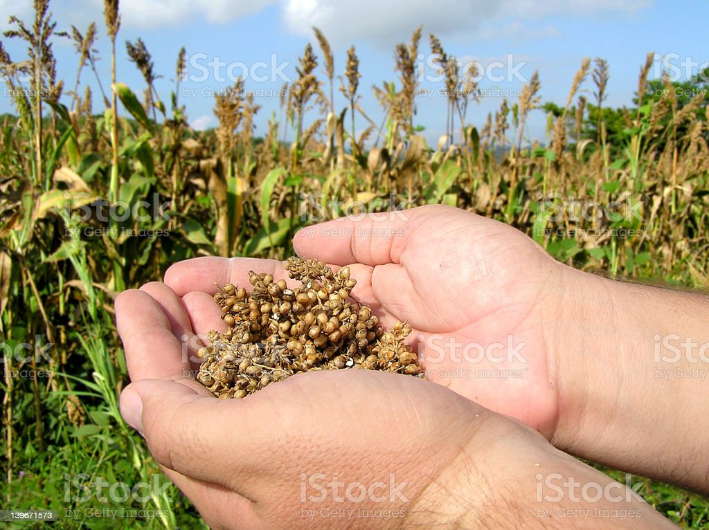 Strong hands holding crop of Sorghum in Mexico stock photo