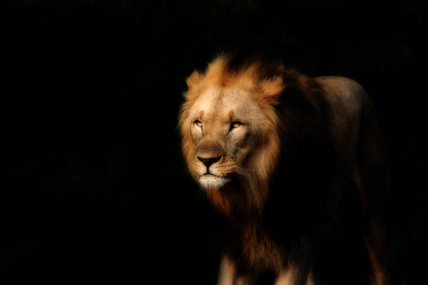 Royalty Free Black Lion Wallpaper Pictures Images And Stock Photos