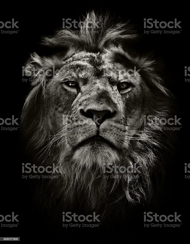 strong lion stock photo
