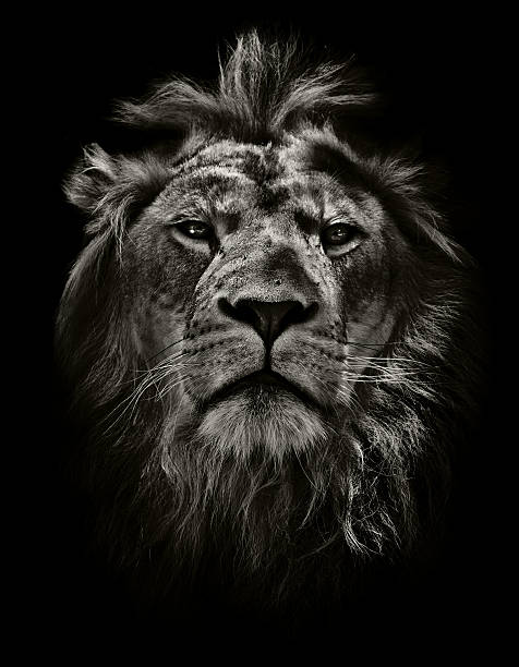 strong lion broody lion isolated against black male animal stock pictures, royalty-free photos & images