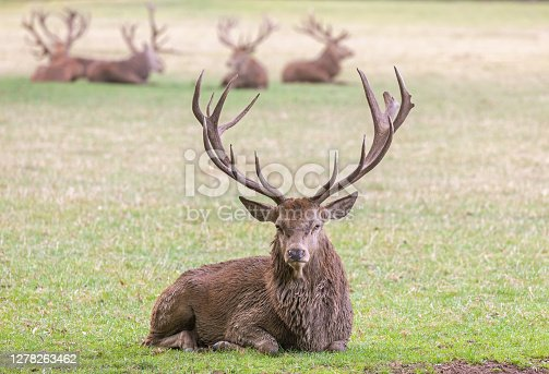 Lying strong stag with a group of stags in the background.