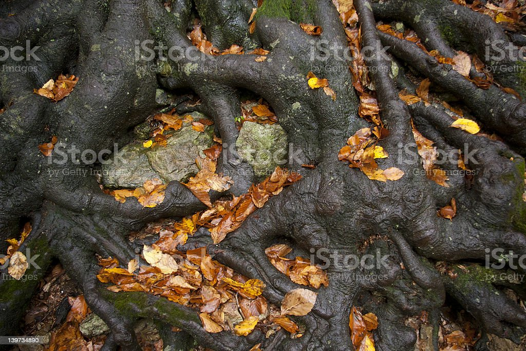 Strong roots royalty-free stock photo