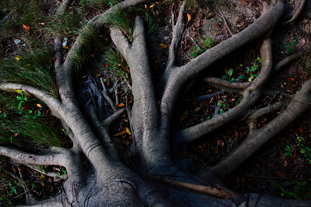 strong tree roots  ancestry stock pictures, royalty-free photos & images