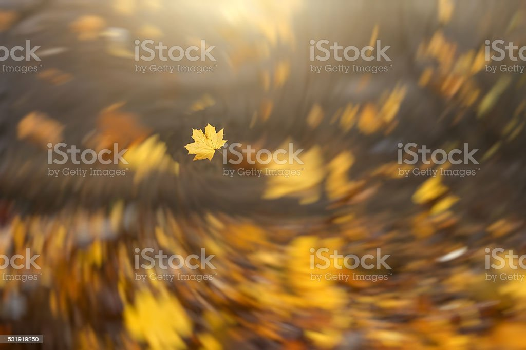 Strong wind blowing yellow maple leaves stock photo