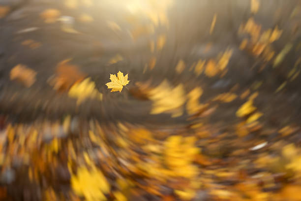 strong wind blowing yellow maple leaves - blowing stock photos and pictures
