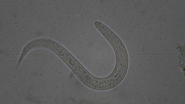 Strongyloides stercoralis larva in stool exam.Parasite in human. Strongyloides stercoralis larva in stool exam.Parasite in human. roundworm stock pictures, royalty-free photos & images