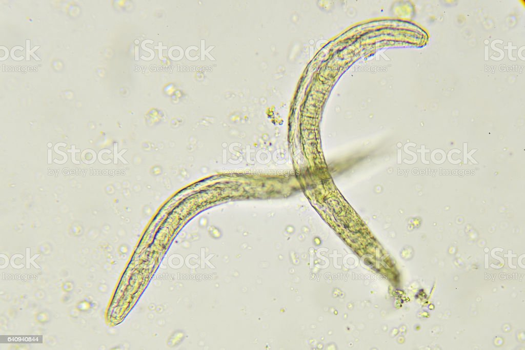Strongyloides stercoralis stock photo