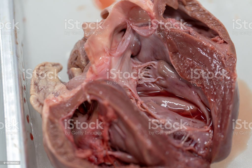 Structure heart of the pig for classroom education. stock photo